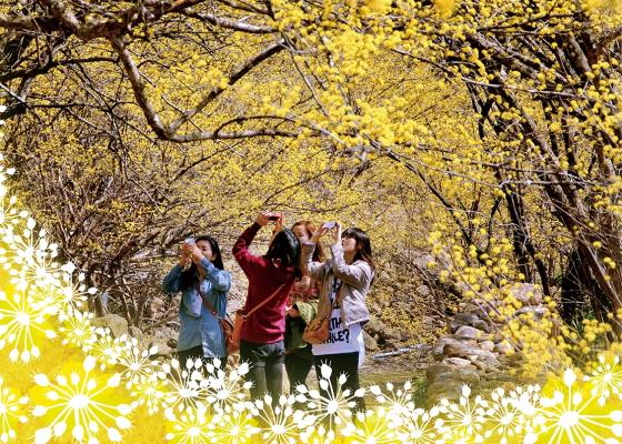 구례산수유꽃축제-求礼サンシュユ花まつり